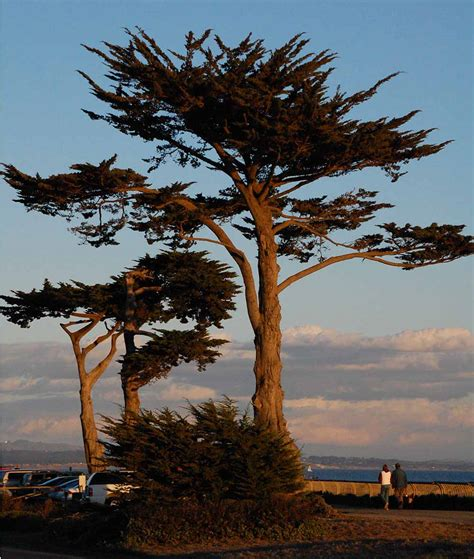 Trees of West Cliff Drive: Native but not Natural - Santa