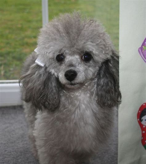 Tiny silver toy poodle