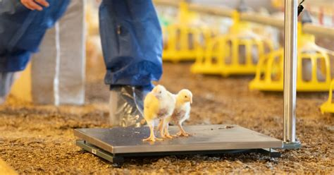 The virtues of monitoring broiler bird weight in real-time