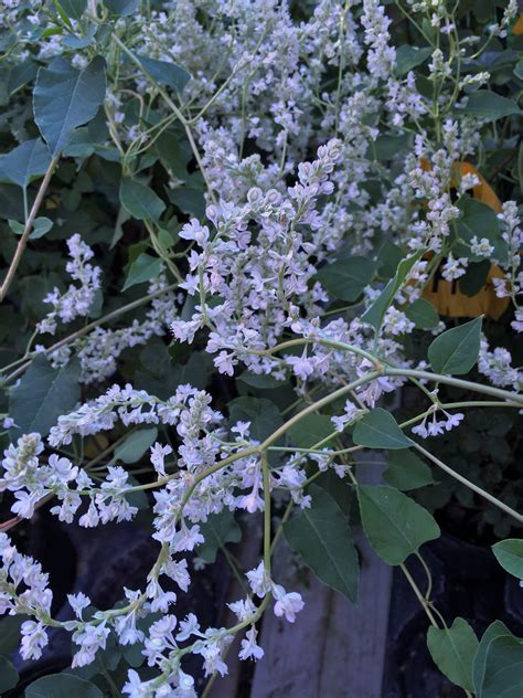 What's Doing the Blooming? Silver Lace Vine - Knecht's