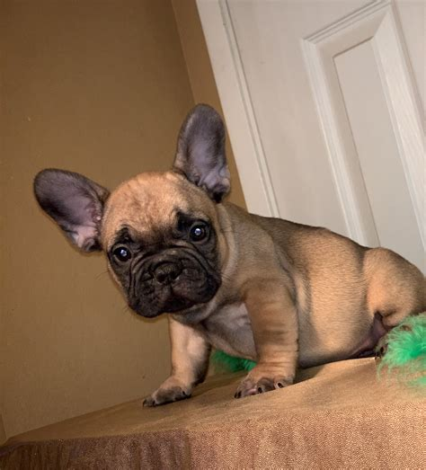 Red Fawn Pied French Bulldog barkley pet hotel los angeles