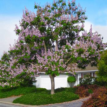 Royal Empress Trees for Sale – FastGrowingTrees