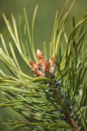 Pine Trees That Tolerate Shade | eHow