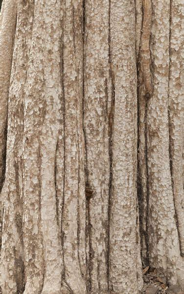 BarkTropical0022 - Free Background Texture - jungle