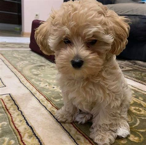 Akc Registered Maltese Puppies On Adoption - Home | Facebook