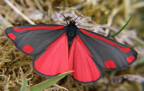 Red and Black butterfly   Butterfly species, Beautiful